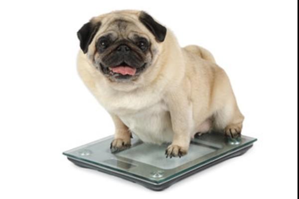 デブの犬、太ってる犬2