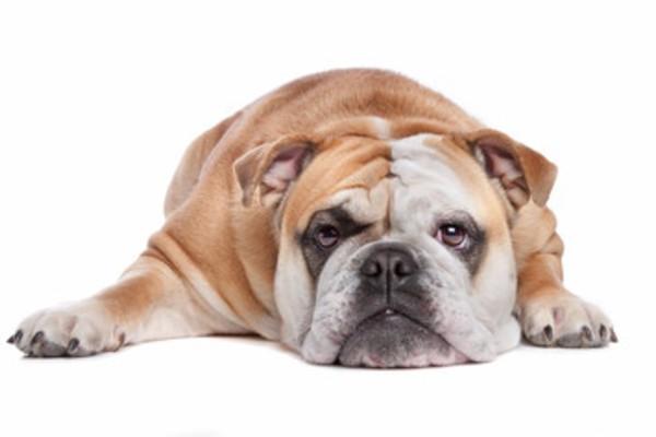 デブの犬、太ってる犬