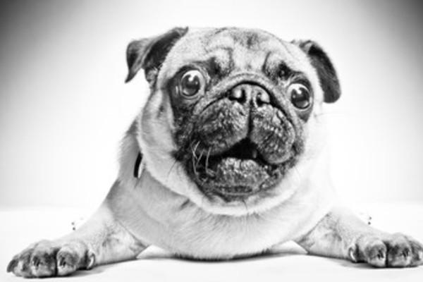 パグは吐きやすい犬種?嘔吐の原因から病気のサイン・対処法をチェック!