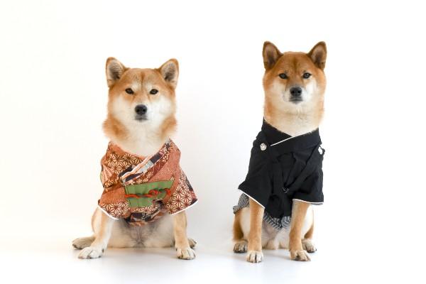 着物きた犬・日本・柴犬