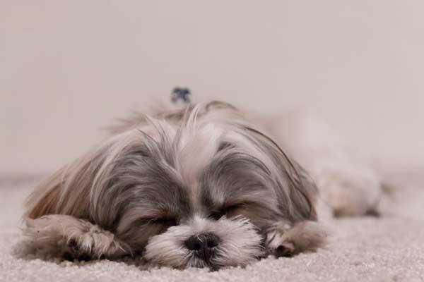 シーズーは吐きやすい犬種?吐く原因と対処法は嘔吐物の色でチェック!
