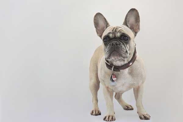 フレンチブルドッグは吐きやすい犬種?原因と吐いた後のケアを徹底解説!