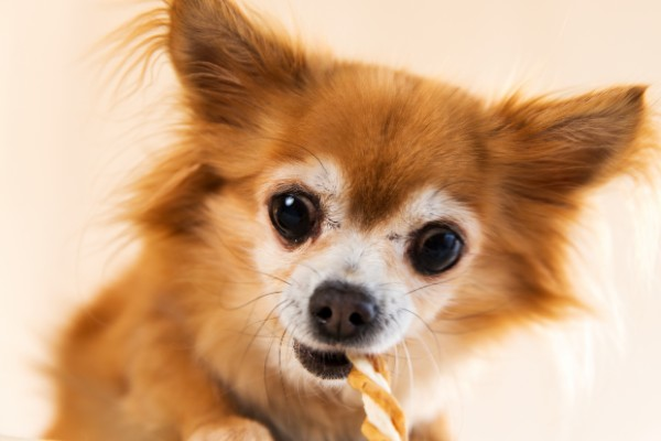 ガムを噛む犬