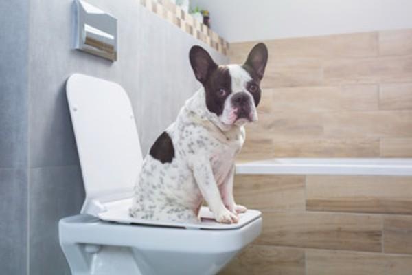 トイレにいるブルドッグ