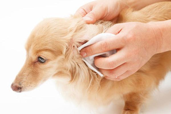 愛犬の耳掃除