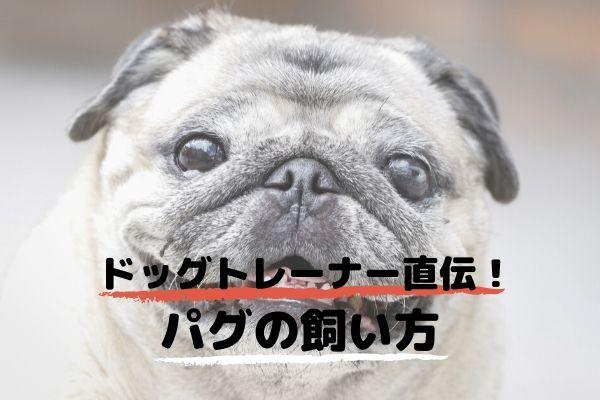 ドッグトレーナーが教える!パグの飼い方、特徴、病気は?