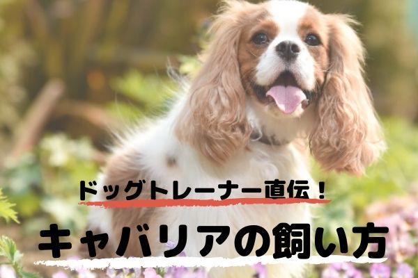 ドッグトレーナーが教える!キャバリアの飼い方、特徴、病気は?