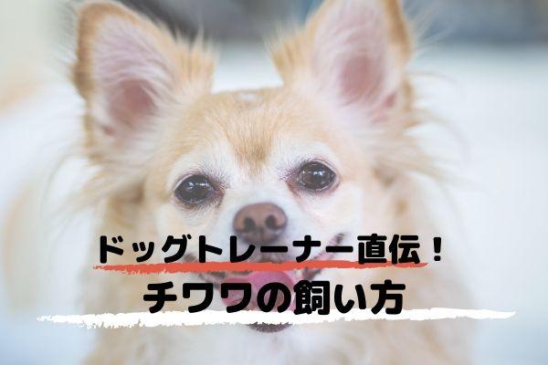 ドッグトレーナーが教える!チワワの飼い方、特徴、病気は?