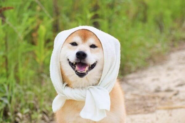 ほっかむりしている犬