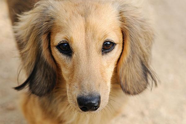 老犬の目におすすめのアイケアサプリメント9選|安くて良いものは?