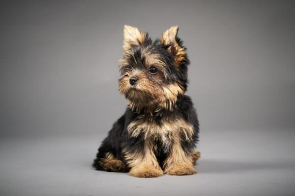 ヨークシャー・テリア 子犬