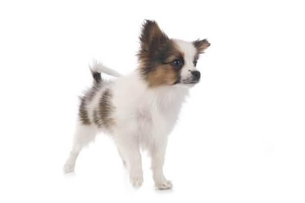 仔犬のパピヨン