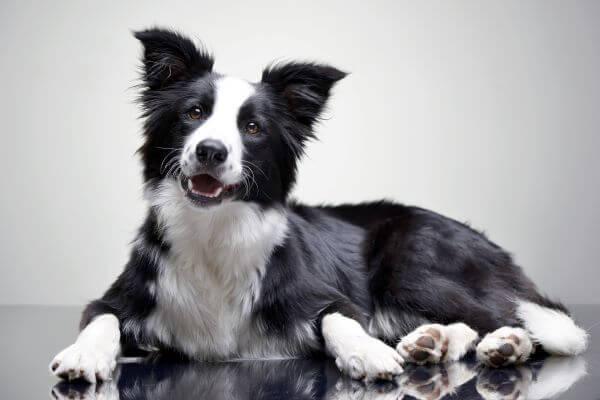 ドッグトレーナーが教える!ボーダーコリーの飼い方、特徴、病気は?