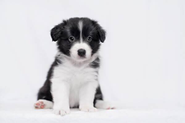 ボーダーコリー仔犬