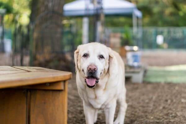 ラブラドールレトリバー老犬