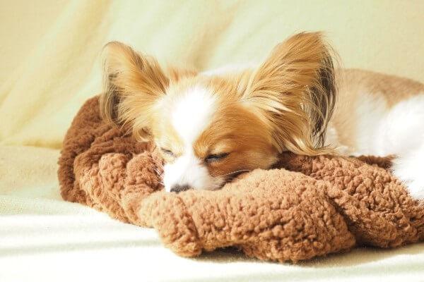 寝るパピヨン