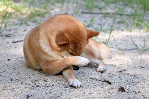 掻いている犬