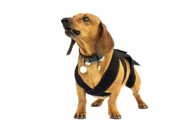 コルセットをした犬