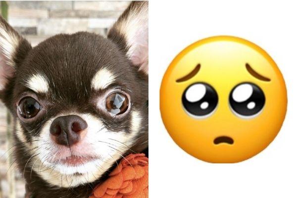 目がうるうるの「ぴえん犬」を集めたら見てるこっちが泣けてきた…。