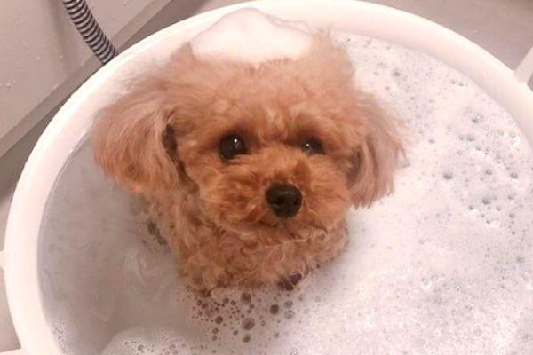 わんちゃんがお風呂に入った結果…「どなたさま?」もこもこ姿にキュンです♡悶絶覚悟のシャンプー犬5選