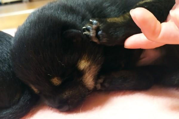 小さくてぷよぷよ♡あぁフニフニして楽しみたい…生後2週間の柴犬「マニア必見の肉球」を大公開