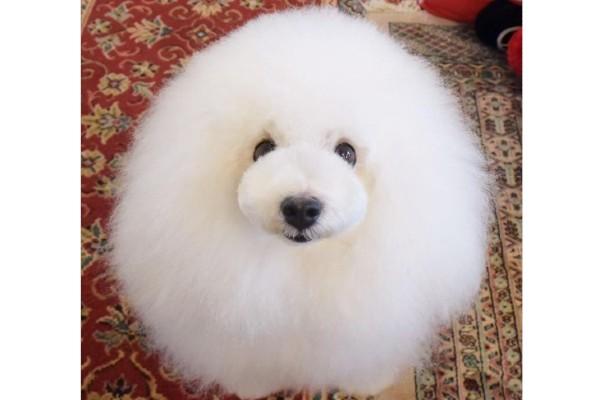 【まんまる♡ぽわぽわ】こんなに丸くてほんとにわんちゃん?綿あめみたいなまんまる犬5選