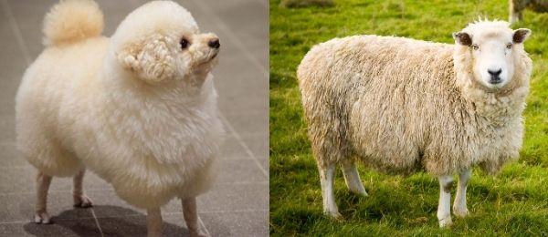 羊に似ている犬
