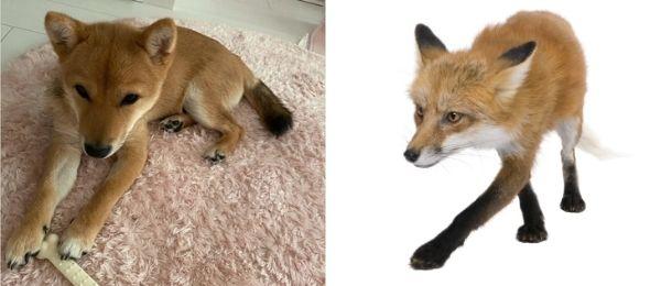 きつねに似ている犬