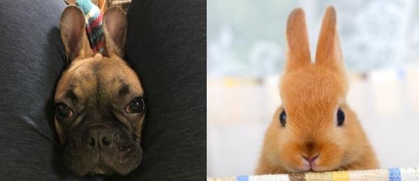 うさぎに似ている犬