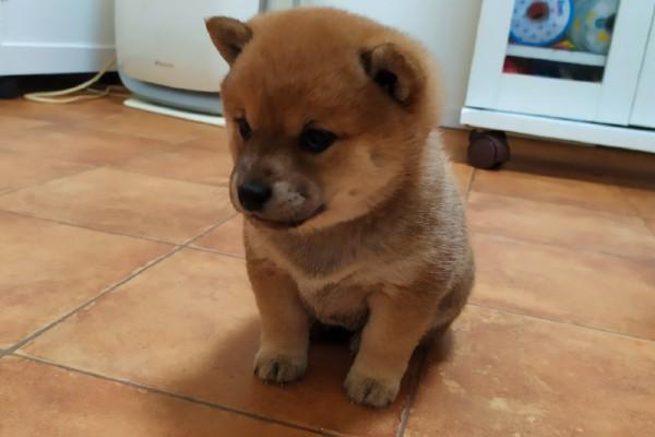 柴犬の赤ちゃん3