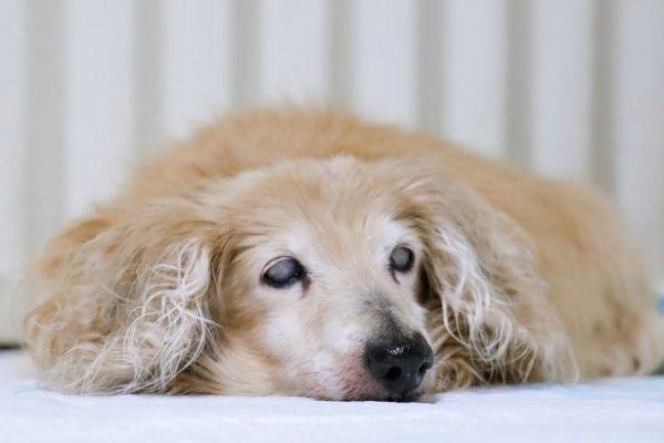老犬の徘徊や夜泣き