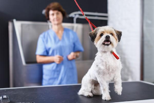 ハバニーズと動物病院の獣医