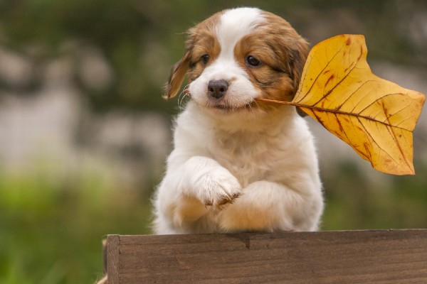 コーイケルホンディエの子犬