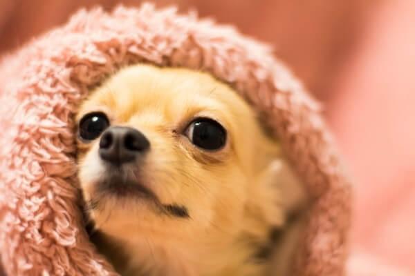 チワワ 毛布