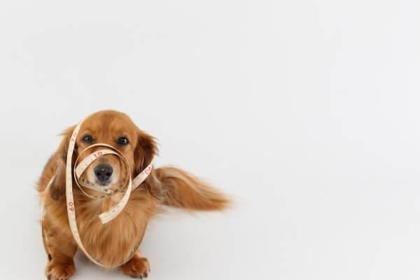 犬 メジャー