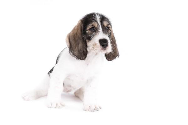 グランド・バセット・グリフォン・バンデーンってどんな犬種?値段・性格・飼い方・かかりやすい病気・購入方法を解説