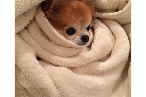 毛布にくるまったチワワ