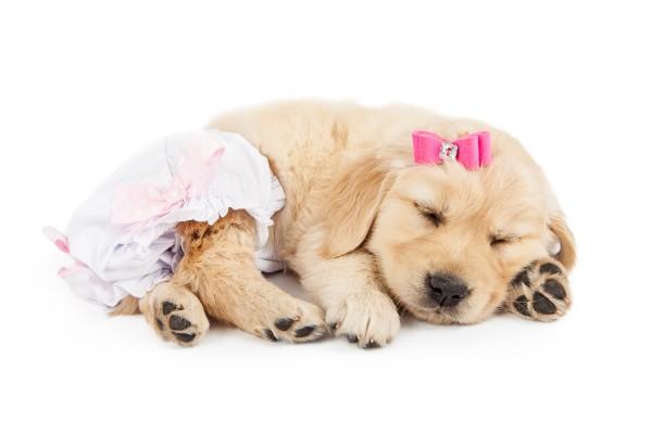 【獣医師監修】犬の生理(ヒート)の時期は?症状や出血への対処法などを紹介