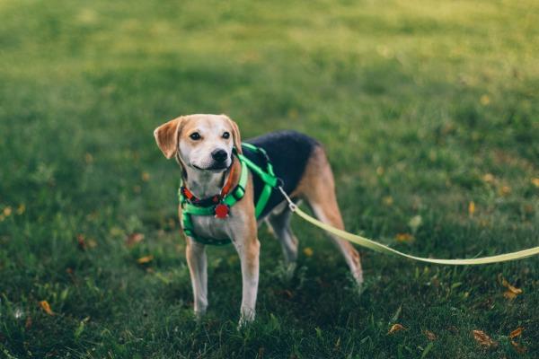 犬用ハーネスと首輪の違い