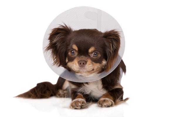 【獣医師監修】犬の避妊手術を徹底解説!費用やリスク・メリットは?