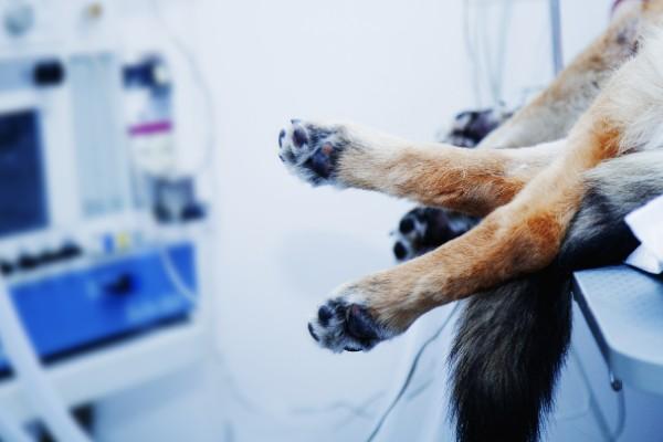 手術室の犬