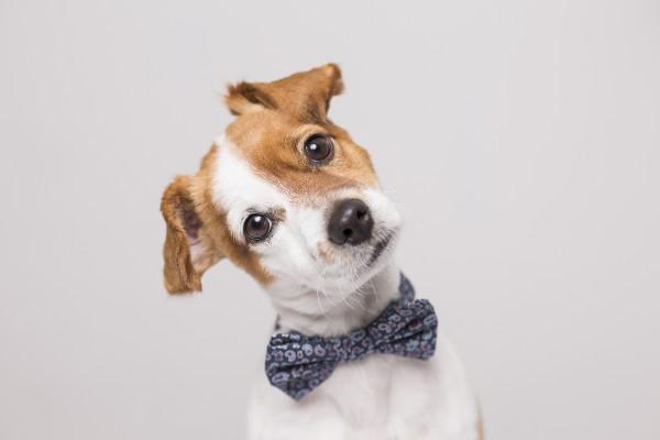 蝶ネクタイをつけた犬