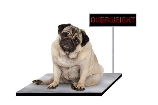 体重計に乗ったパグ