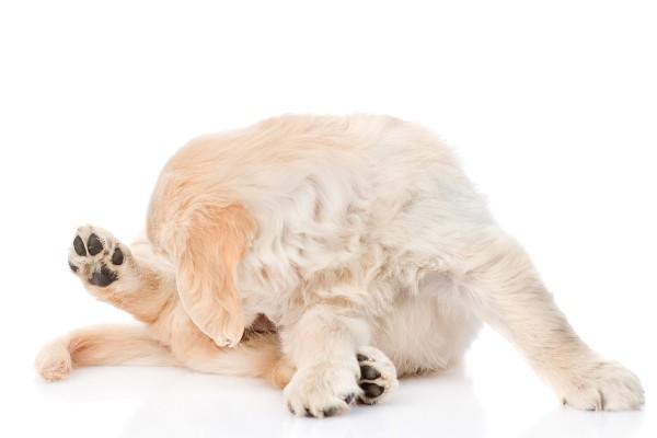 体を舐めるレトリーバーの子犬