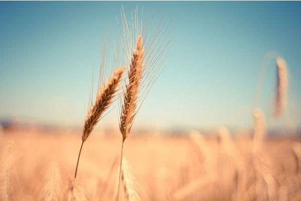 穀物アレルギー